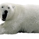 Now you can download Polar Bear PNG Picture