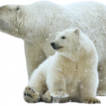 Grab and download Polar Bear PNG Image Without Background