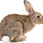 Grab and download Rabbit PNG in High Resolution