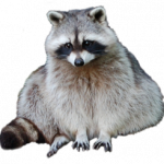 Grab and download Raccoon Icon Clipart