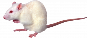Download this high resolution Rat