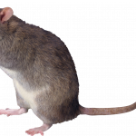 Download for free Rat