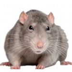 Download and use Rat
