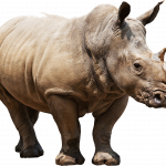 Best free Rhino PNG Picture
