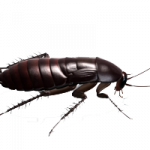 Free download of Roach Icon Clipart