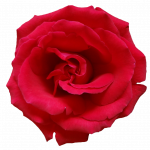 Download for free Rose PNG Image Without Background