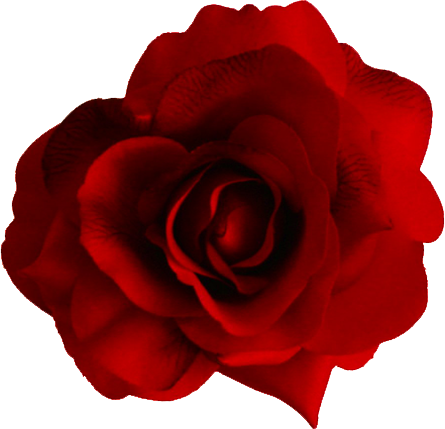 Now you can download Rose Transparent PNG Image