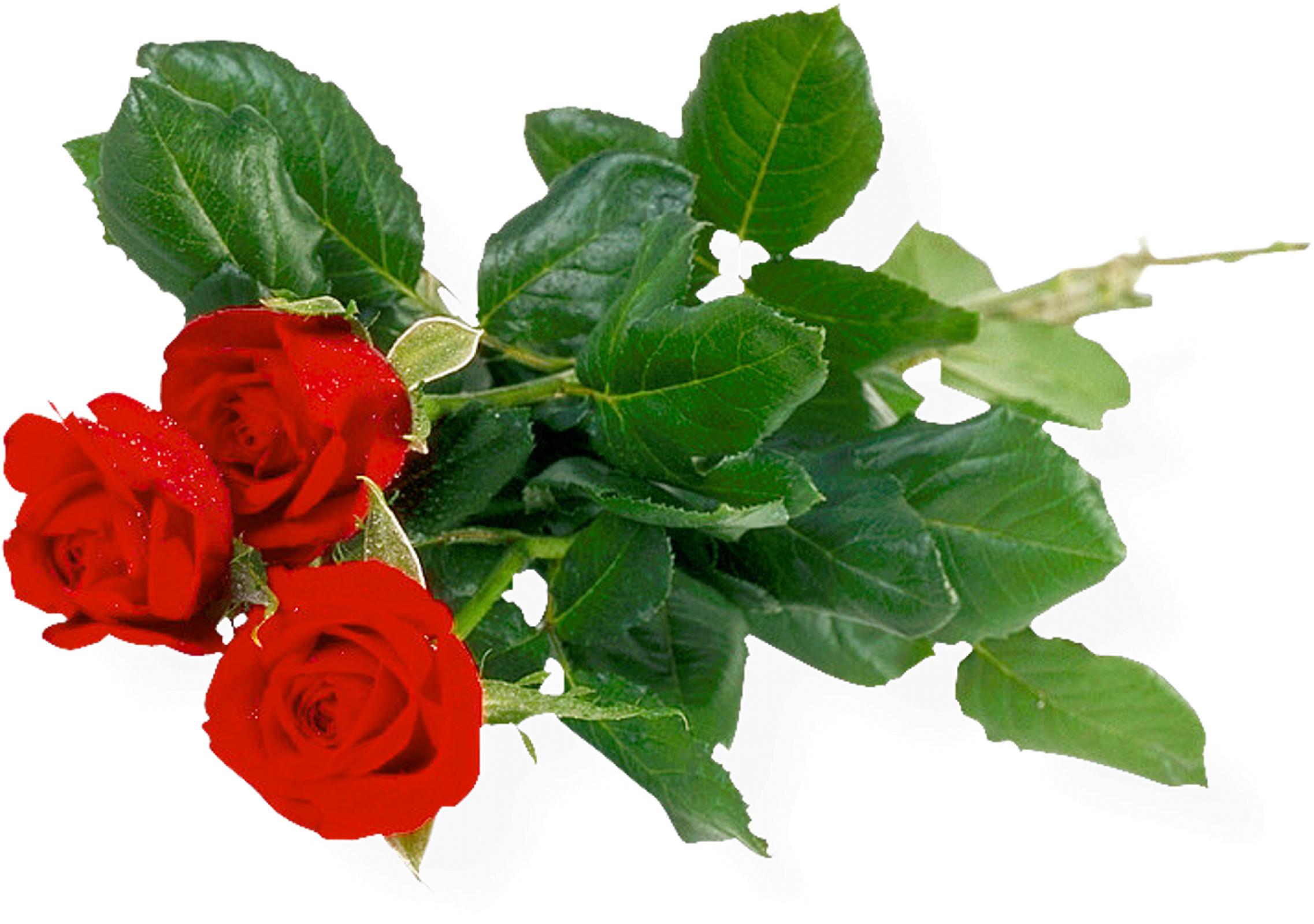 Free download of Rose PNG Image Without Background