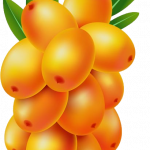 Now you can download Sea Buckthorn PNG Image Without Background