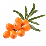 Now you can download Sea Buckthorn Transparent PNG File