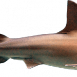 Now you can download Sharks PNG Icon