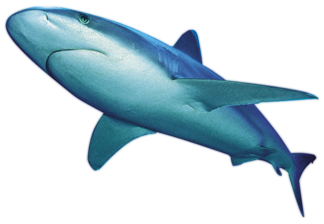 Download for free Sharks PNG Image Without Background