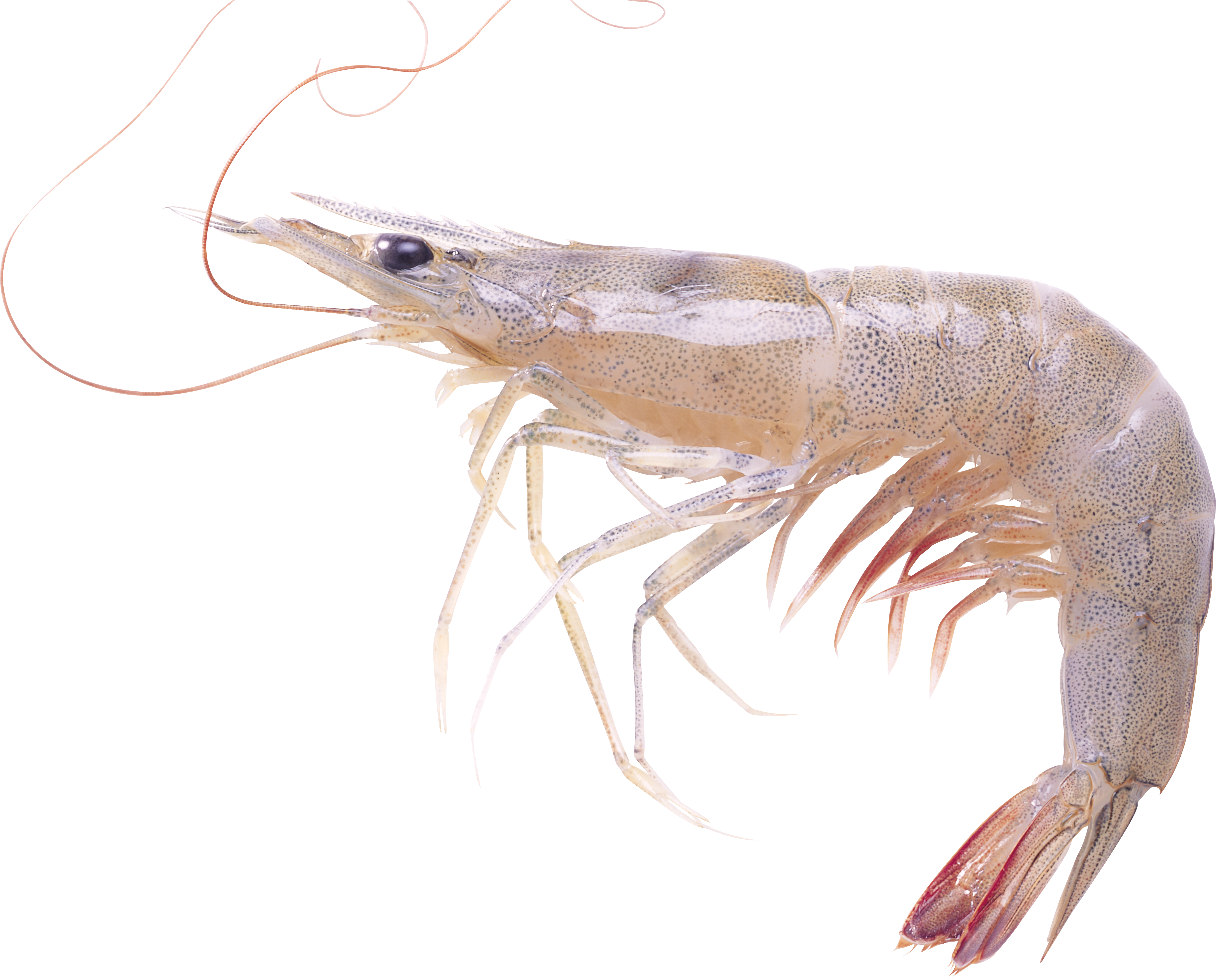 Now you can download Shrimps Icon PNG