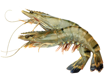 Download and use Shrimps PNG
