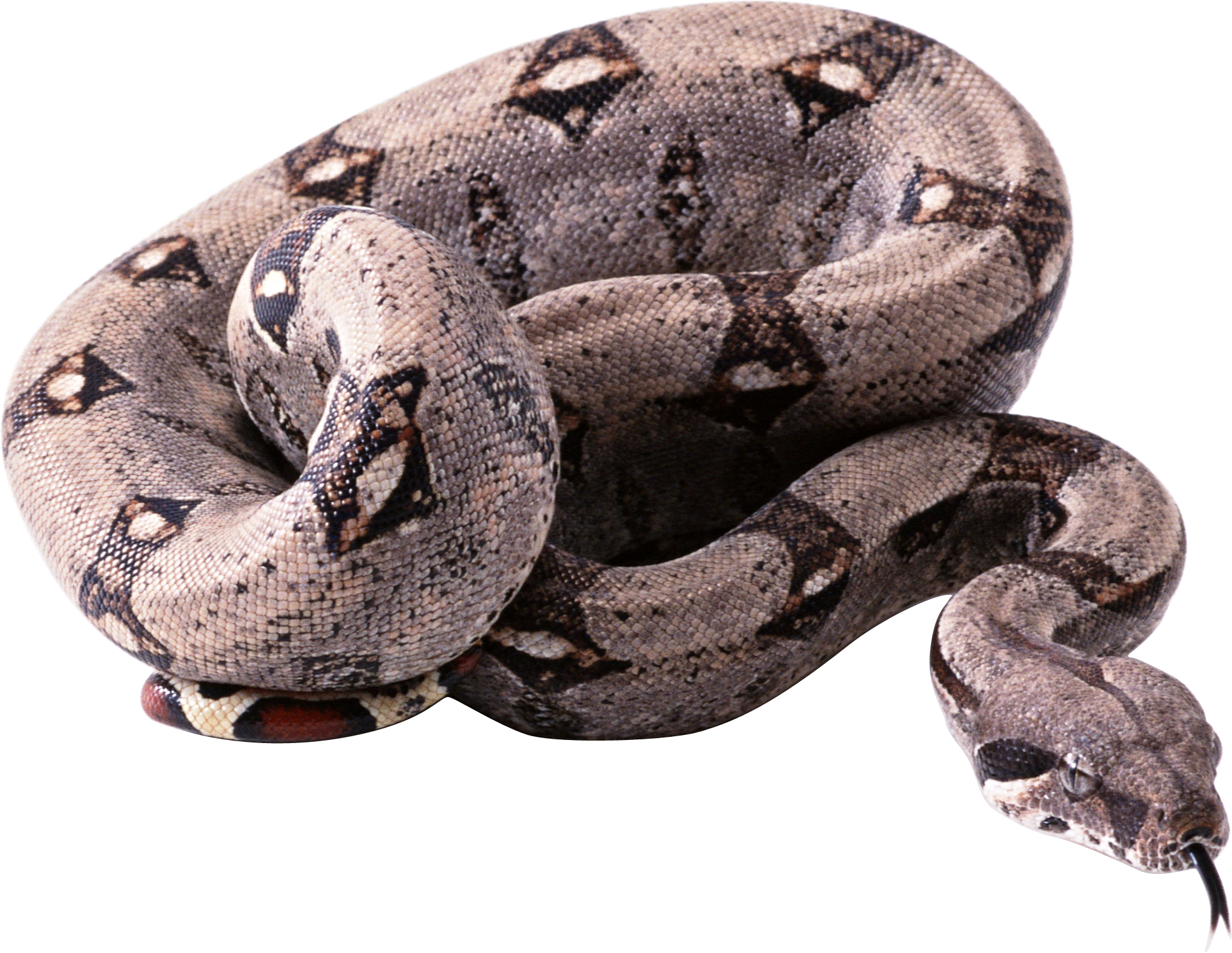 Free download of Snake PNG Picture