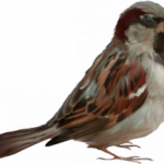 Grab and download Sparrow PNG in High Resolution