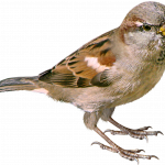 Download for free Sparrow PNG Picture