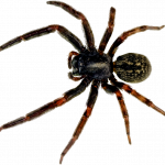 Grab and download Spider PNG Image
