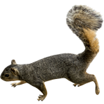 Download and use Squirrel High Quality PNG
