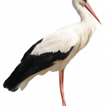 Now you can download Stork High Quality PNG