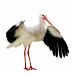 Download this high resolution Stork PNG in High Resolution