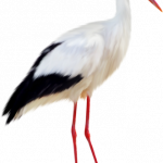 Grab and download Stork PNG Picture