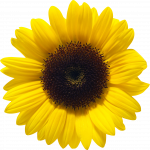 Download for free Sunflower PNG Picture