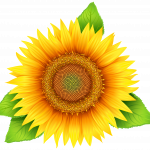Download for free Sunflower High Quality PNG