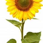 Download and use Sunflower Transparent PNG File