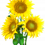 Download and use Sunflower High Quality PNG