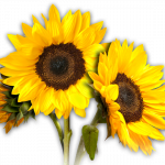 Download and use Sunflower PNG Picture