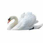 Download for free Swan Transparent PNG Image