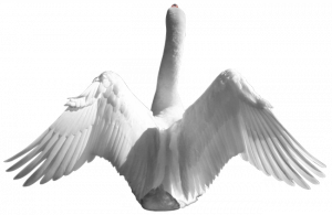 Free download of Swan Transparent PNG Image