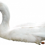 Download this high resolution Swan PNG Icon