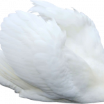Download this high resolution Swan Transparent PNG File