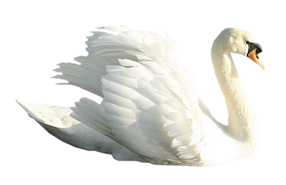Grab and download Swan PNG Image Without Background