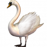 Best free Swan  PNG Clipart