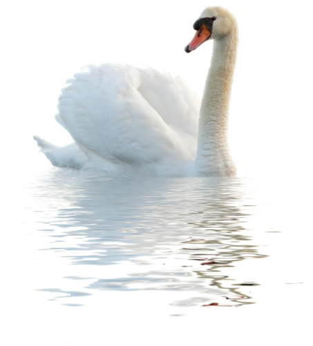Download for free Swan PNG in High Resolution