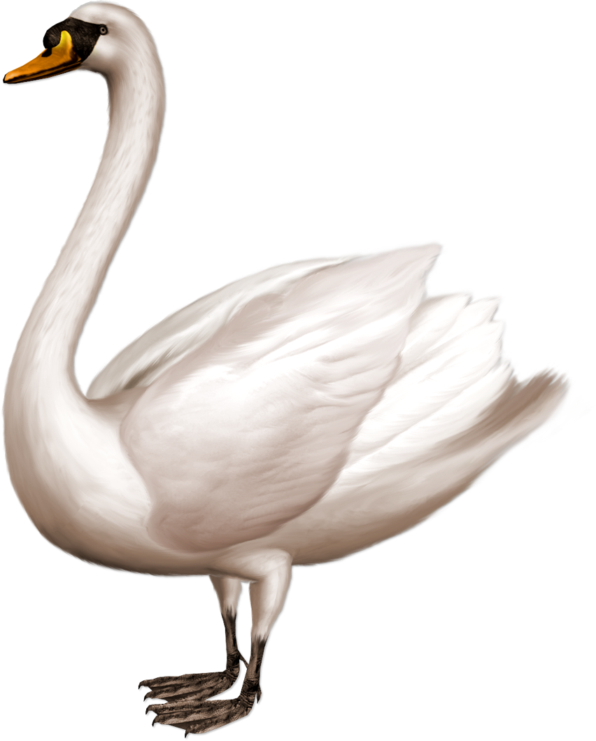 Grab and download Swan PNG in High Resolution