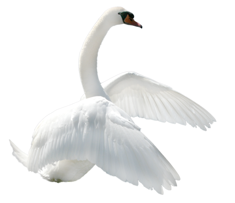 Best free Swan PNG Picture