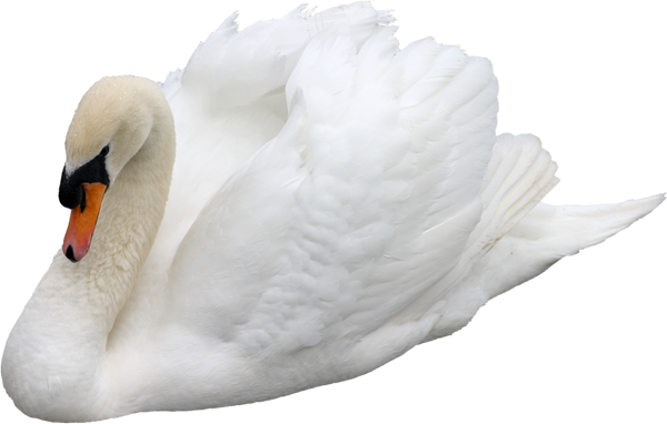 Download and use Swan PNG Image