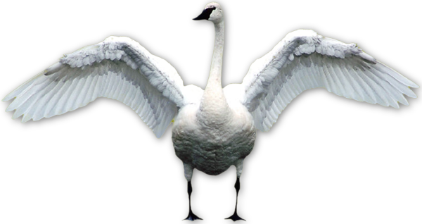 Free download of Swan PNG Picture