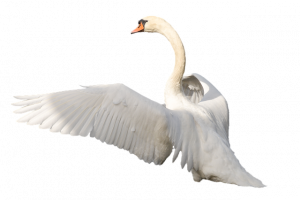 Free download of Swan Icon PNG
