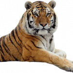 Now you can download Tiger In PNG