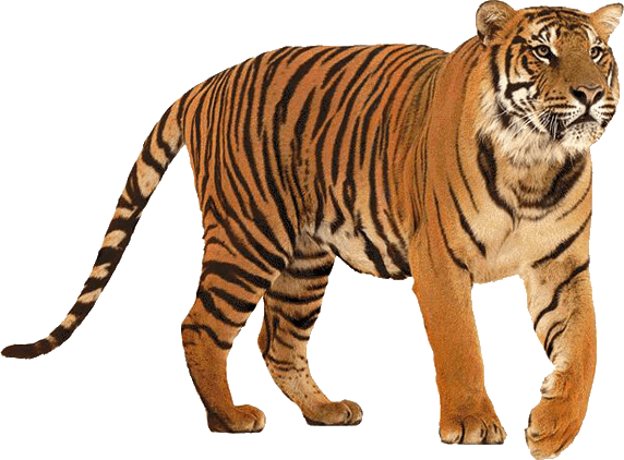 Tiger Png Picture Web Icons Png