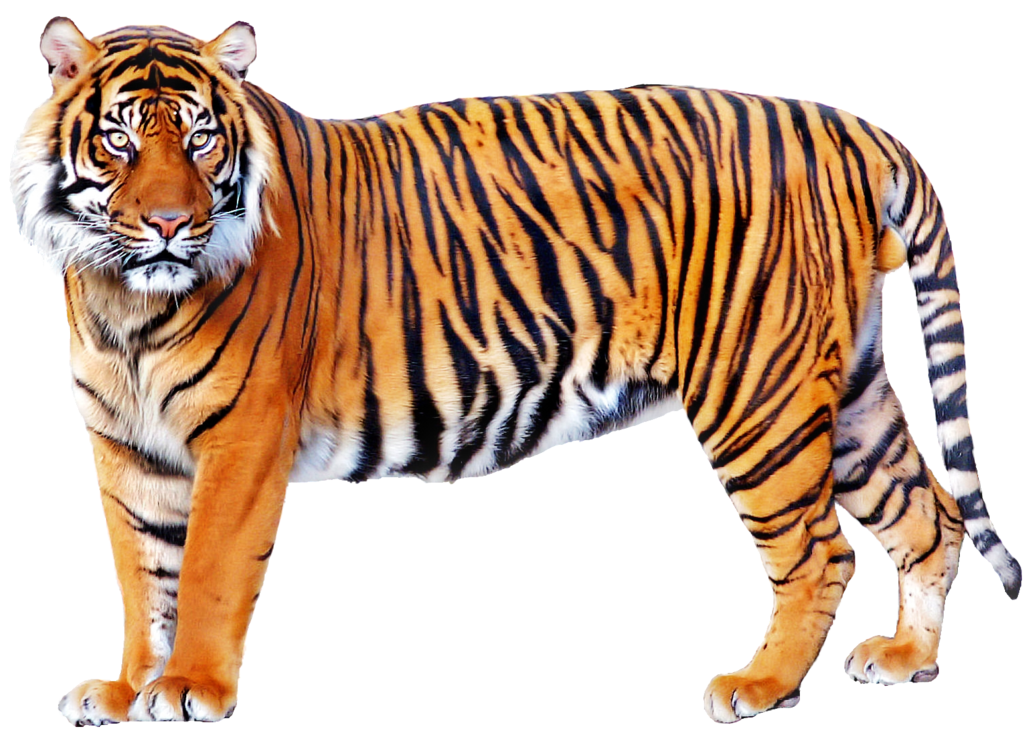 Free download of Tiger PNG Picture