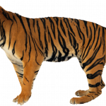 Download for free Tiger PNG