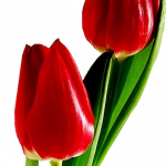 Now you can download Tulip  PNG Clipart
