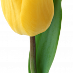 Best free Tulip High Quality PNG