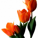 Free download of Tulip PNG Picture
